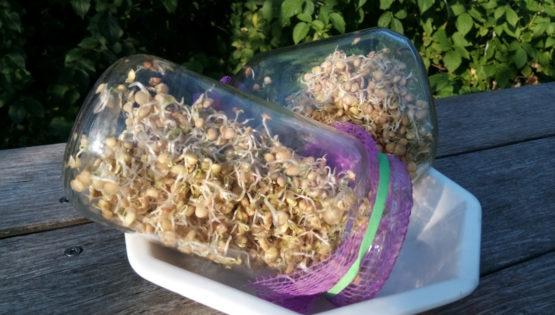 Il n'y a pas forcément besoin d'un germoir officiel pour faire germer de la graine !