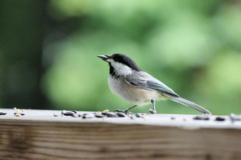 Non tu n'es pas un oiseau, fais donc germer tes graines avant de les manger !