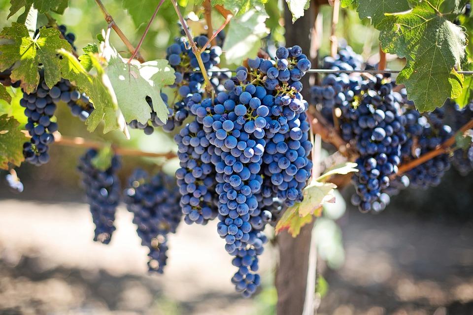 Le raisin est le meilleur aliment pour une cure de changement de saison avant l'hiver.